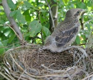 Ťuhýk pomáhá udržet populaci hrabošů pod kontrolou, poslední mládě na hnízdě