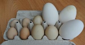 fotografia Husacie vajcia