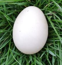 Kačacie vajcia