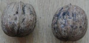 fotografia Sadenice orechov