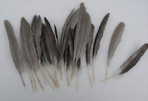 Kačacie perie