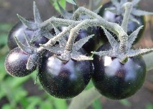 fotografie Rajčatová semínka